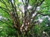 Strom z lesa Fangorn ( utajené miesto v Podkoniciach). Foto mobilom Dušan Koctúr